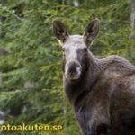 120924 – Var uppmärksam på vilt längs vägarna